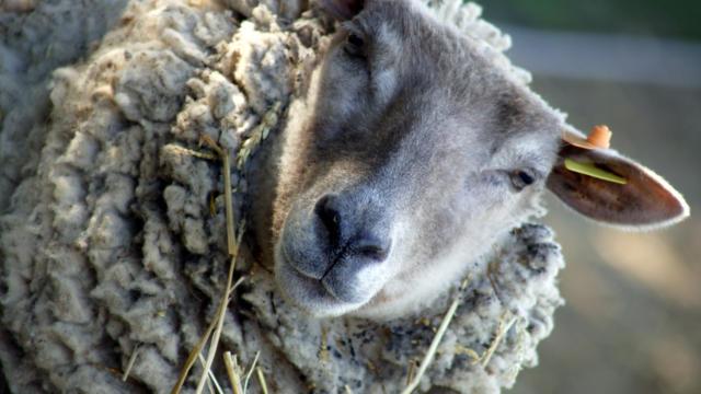 6-ouessant-mouton-phovoir.jpg