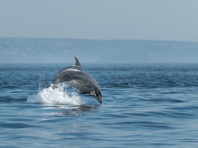 Dauphins - Archipel de Molène