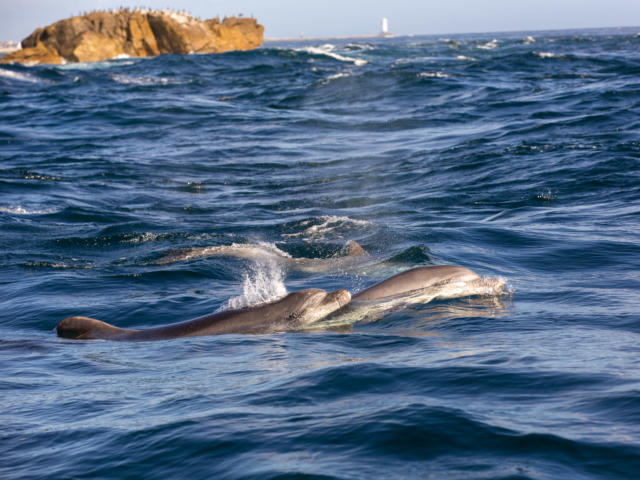 Dauphins en mer d'Iroise