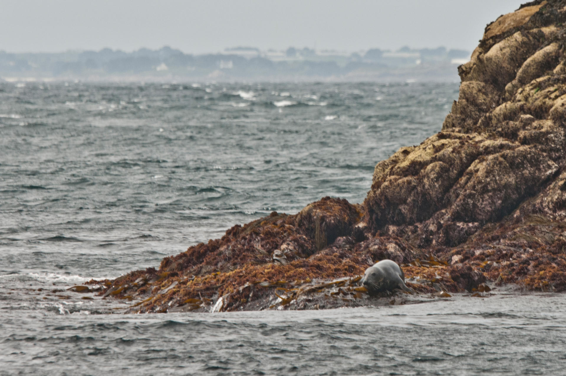 Flip With The Grey Seals In The Bay Of Morlaix Brittany