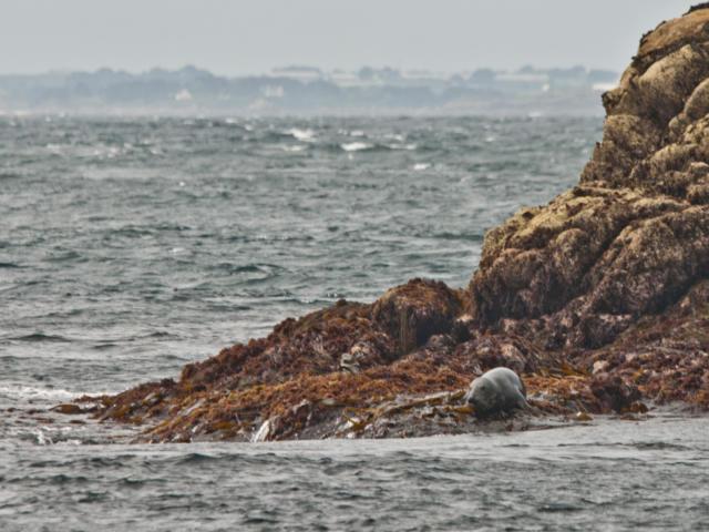 palmez-avec-les-phoques-gris-en-baie-de-morlaix-3.jpg