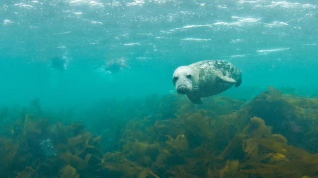 Palmez avec les phoques gris en Baie de Morlaix