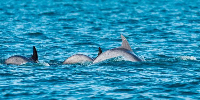 Participez à l'observation des grands dauphins