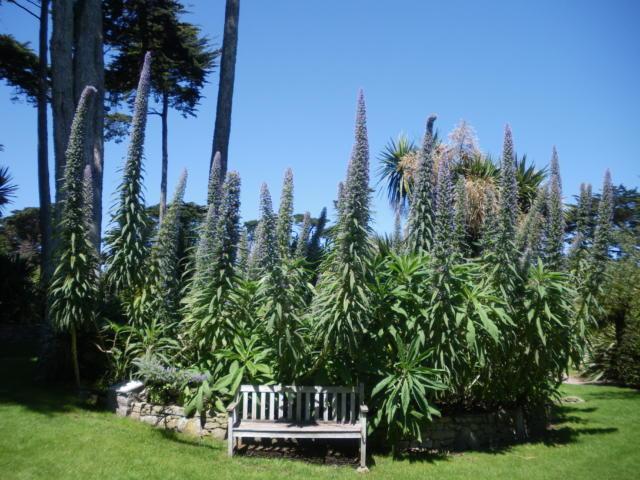 jardin-georges-delaselle-ile-de-batz-massif-echium.jpg
