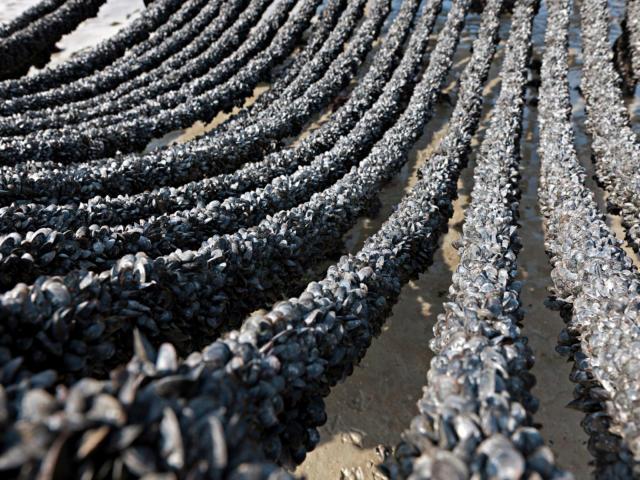 Cordes recouvertes de moules de Bouchot de la baie du Mont Saint-Michel