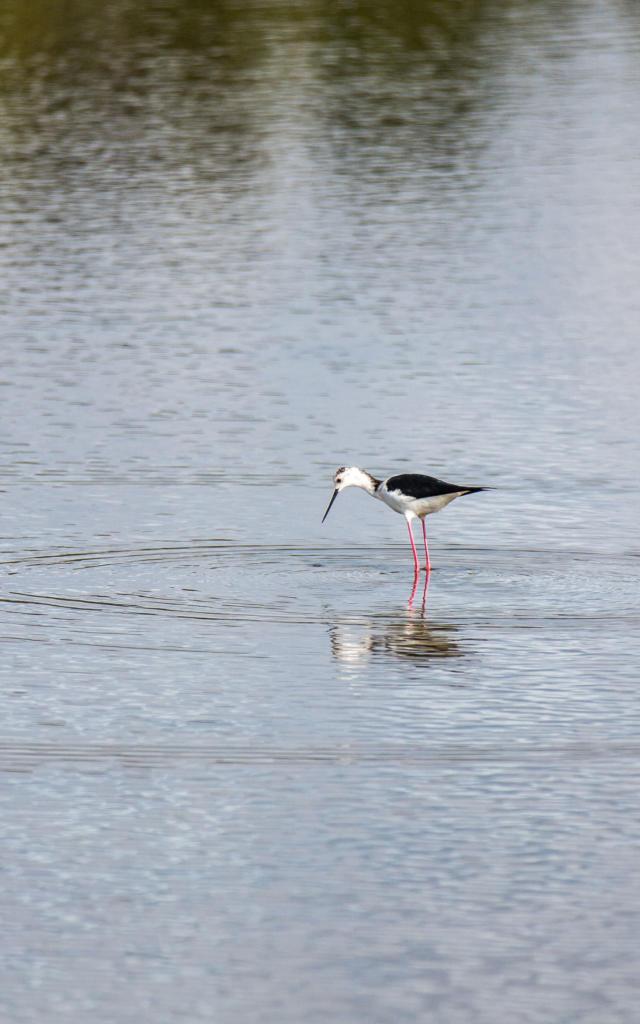 Observer les oiseaux dans le Parc naturel régional du Golfe du Morbihan