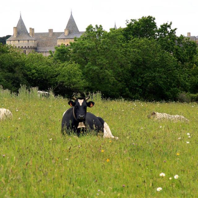 Vache bretonne pie noir