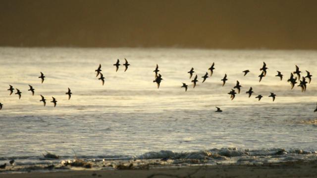 Vol d'oiseaux dans la baie de Saint-Brieuc