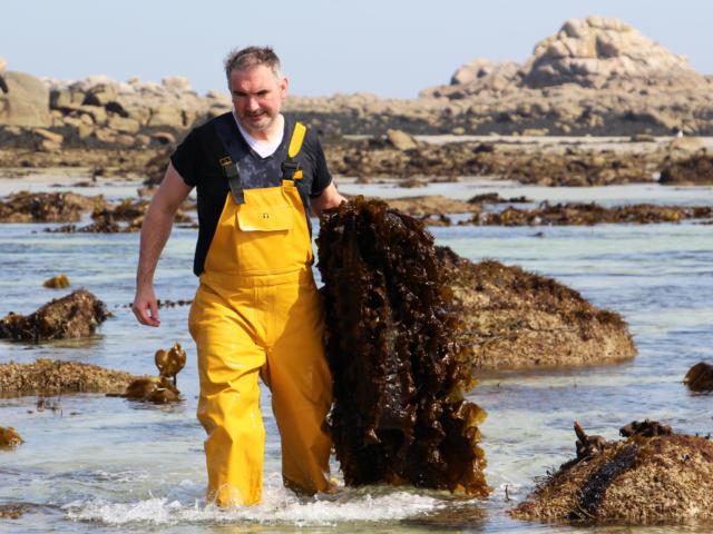 Récolte d'algues par Algoplus à Roscoff