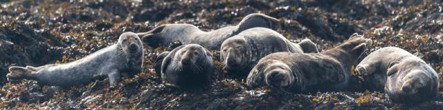 Phoques gris - Archipel de Molène