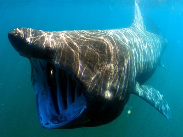 requin-plerin-david-mark-pixabay.jpg