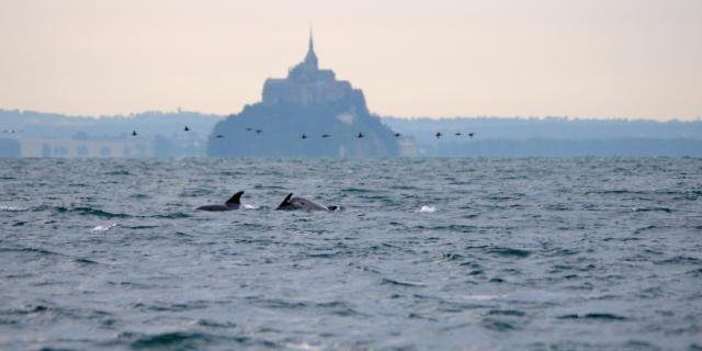 Dauphins dans la baie du Mont Saint-Michel