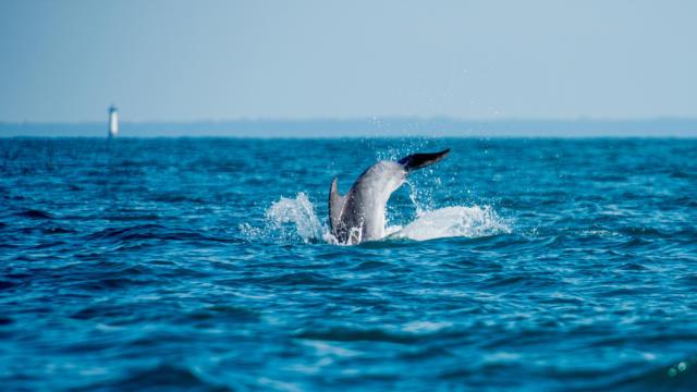 Participez a l'observation des grands dauphins dans la baie de Cancale