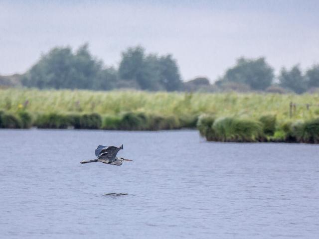 Apero OiseauxR au coeur des marais de Briere, un heron