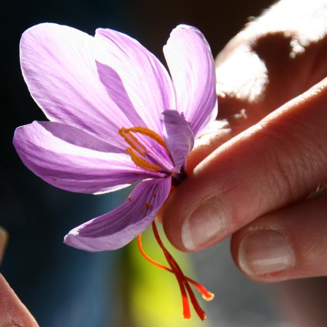 Safran de Bretagne issu du crocus sativus