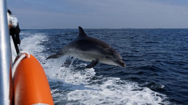 Dauphin en mer d'Iroise