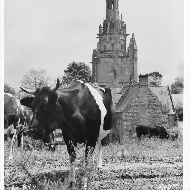 Vaches et clocher à Saint Nicodème