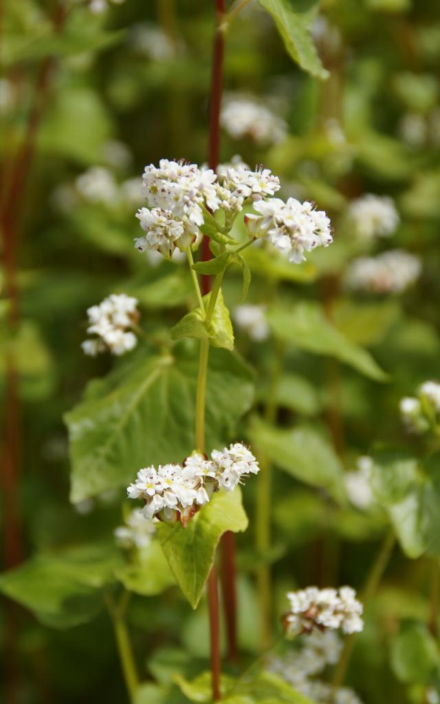 Sarrasin en fleurs