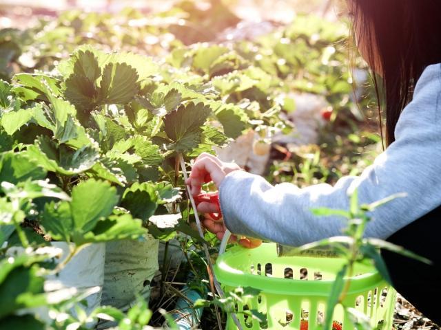 enfant-cueillant-des-fraises.jpg